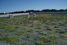 A green rooftop seeded with various types of drought-resistant plants